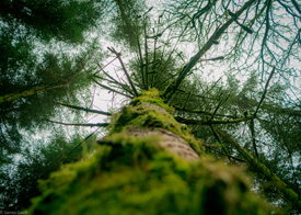 TreeSG275.jpg